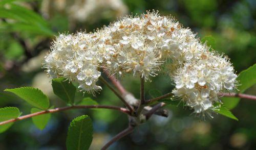 Rowan blossom