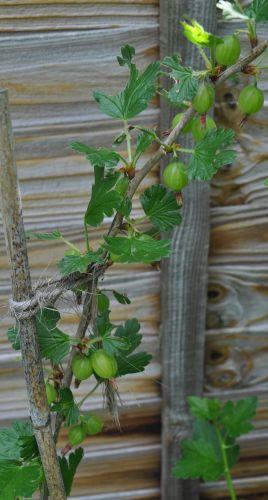 gooseberry1