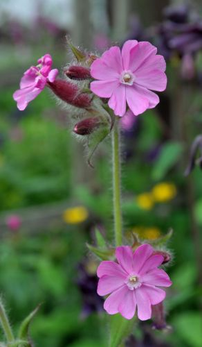 redcampion