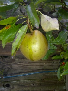 Fruitful Apple and Pear?