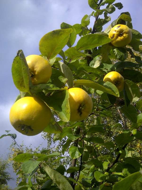 The tree was heavy laden with quince