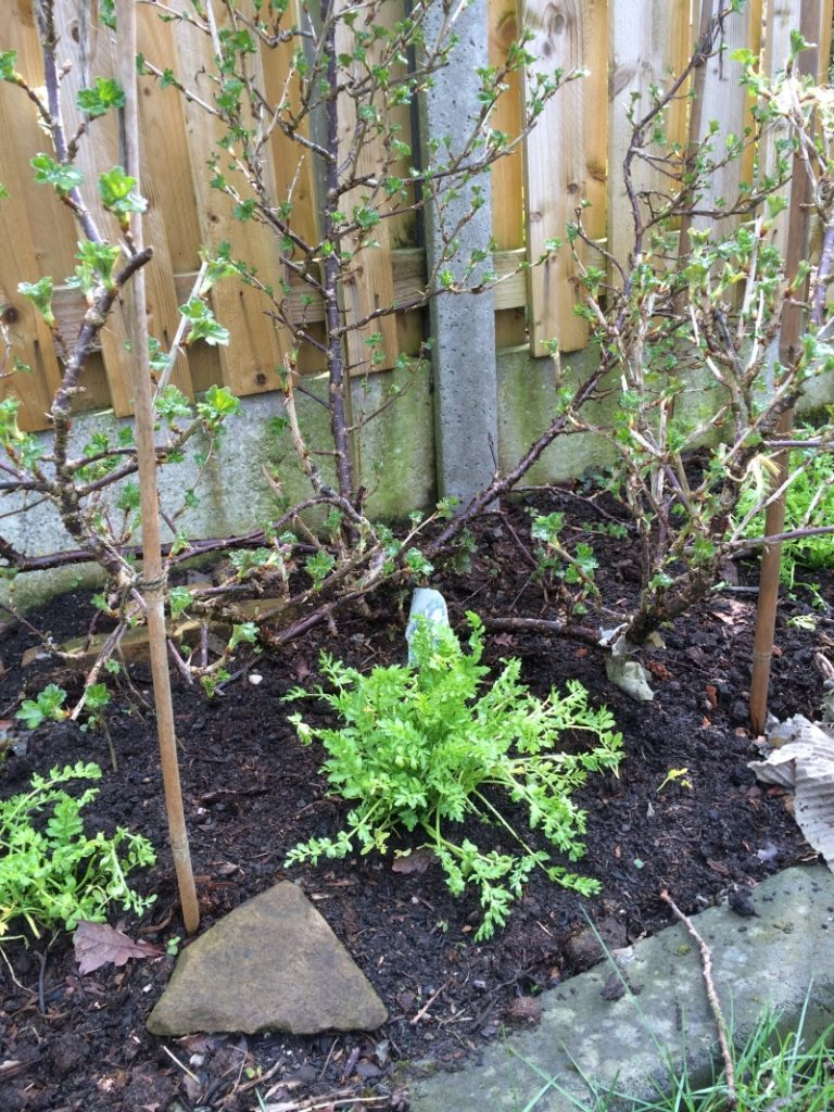 Poached Egg Plant under gooseberry plants