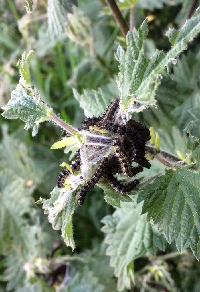 Small Tortoiseshell catterpillars